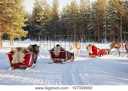 Reindeer Sleigh Safari With People Forest Lapland Northern Finland