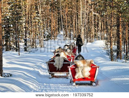 Reindeer Sleigh Caravan Safari With People Forest Lapland Northern Finland