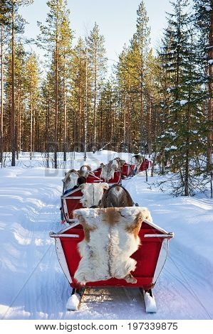 Reindeer Sled Safari With People Forest Lapland Northern Finland