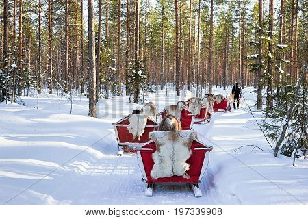 Reindeer Sled Safari And People Forest Lapland Northern Finland
