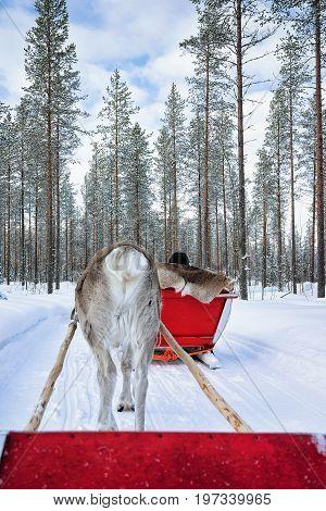 Reindeer Sled Caravan Safari With People Lapland Northern Finland