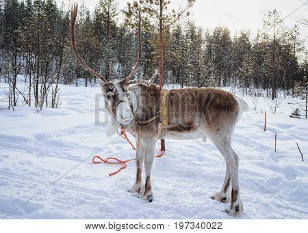 Reindeer On Winter Farm In Lapland Northern Finland