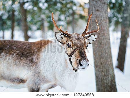 Reindeer At Winter Farm In Lapland Northern Finland