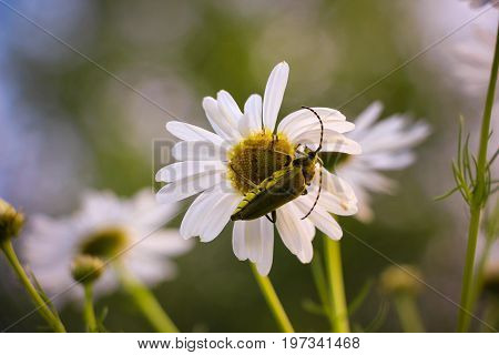 On a glade in the forest on a beautiful white daisy flower sits a green beetle with large antennas.