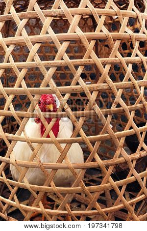 Big fat white feathered chicken locked inside wooden bamboo cage looking out small holes waiting to be slaughtered in Bali Indonesia.