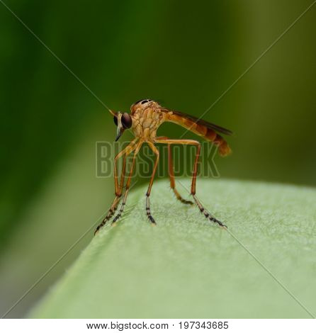 A Robber Fly (Genus Diogmites) resting, shown against a green background.  The robber fly, is also known as a