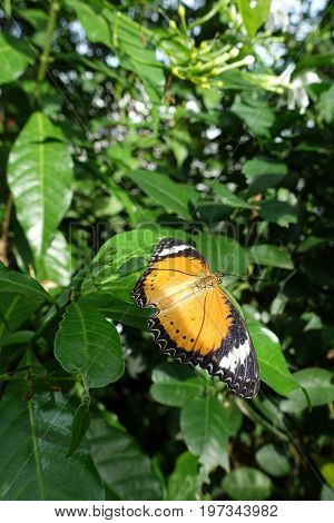 Yellow Orange Colorful Butterfly Resting On A Green Leaf Drying Its Wings In The Sun By Spreading Th