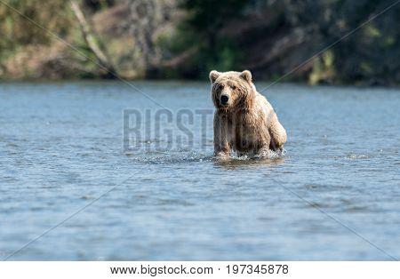 Large Alaskan Brown Bear Wading Through Water