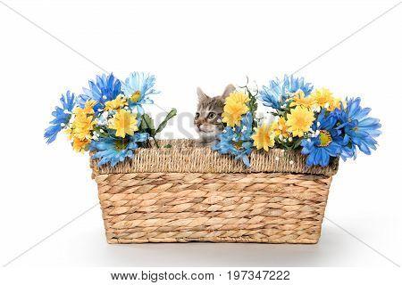 Tabby Kitten In Basket With Flowers