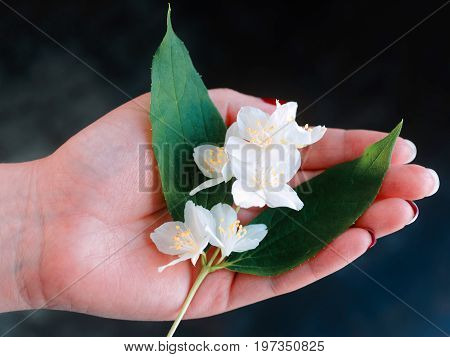 Sprig of jasmine in the girl hand