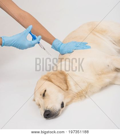 The Doctor's hands check the golden retriever dog. The dog lies on the table for medical examination in a veterinarian