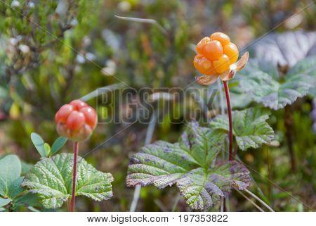 Ripe orange cloudberry on mire in summer