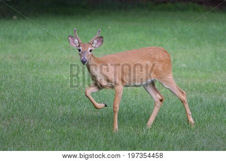 White-tailed Deer (Odocoileus virginianus) Buck in a green field