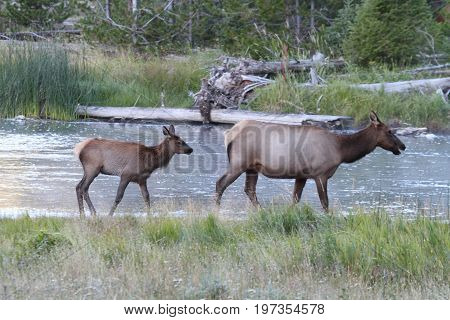 Elk calf (Cervus canadensis) and mother in in Yellowstone National Park