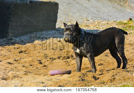 Rottweiler dog on the sand by the sea plays with a toy in the form of a ring