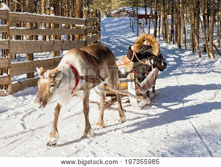 Woman While Reindeer Sledge Ride At Winter Rovaniemi Northern Finland