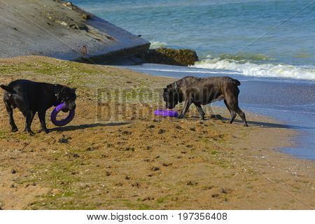 Two dogs Rottweiler in the water by the sea playing with a toy in the form of a ring
