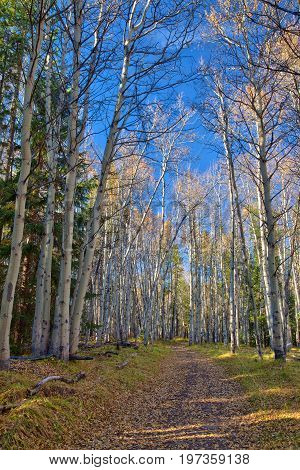 Hiking trail in the Kananaskis region of the Canadian Rockies in autumn with golden aspen trees