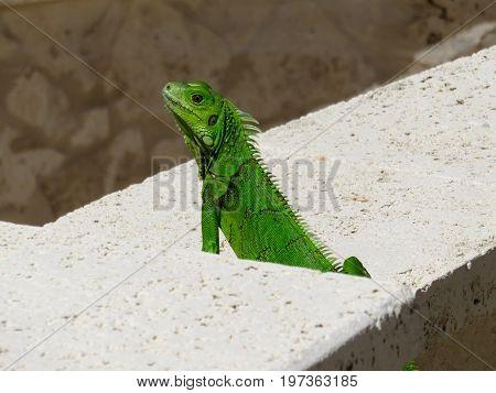 Green iguana sitting on stone wall in Puerto Rico.