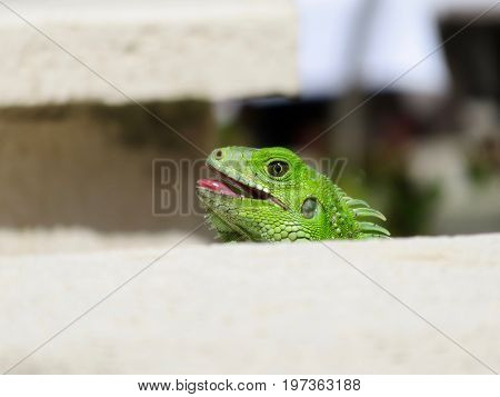 Close up of a green iguana (Iguana iguana), also known as the American iguana, isolated with its mouth open.
