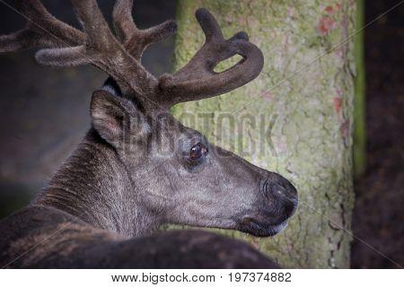 Deer mature bucks