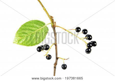 Branch of Amur chokecherry (Prunus maackii) with Black berries and green leaf isolated on white background
