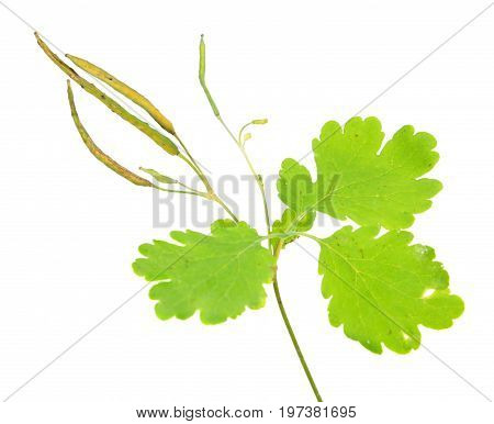 Greater celandine or tetterwort (Chelidonium majus) isolated on white background. Medicinal plant