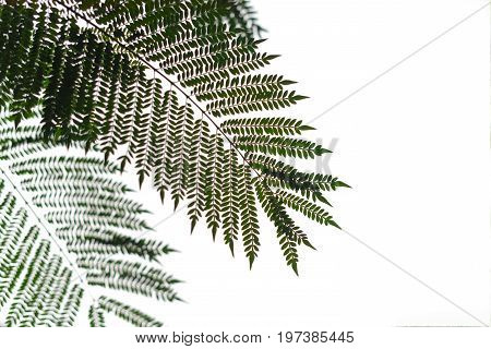Silhouette Of Tree Fern Against White Sky