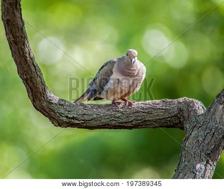 Mourning dove perched on a branch in the woodland