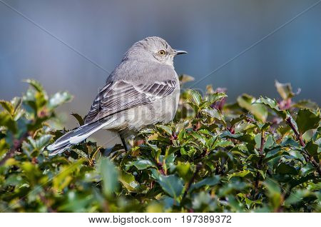 Mockingbird perched in a bush overlooking his territory