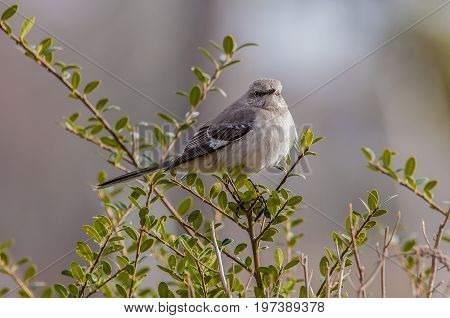 Mockingbird perched in a bush overlooking territory