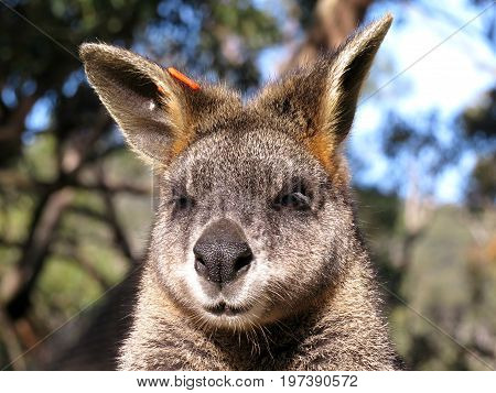 Wallaby sleepy marsupial Australian animal in park close-up of face