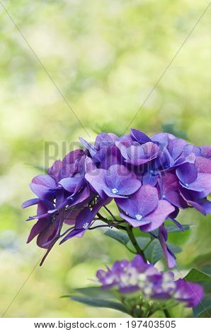 Deep purple hydrangea flowers with yellow green bokeh background