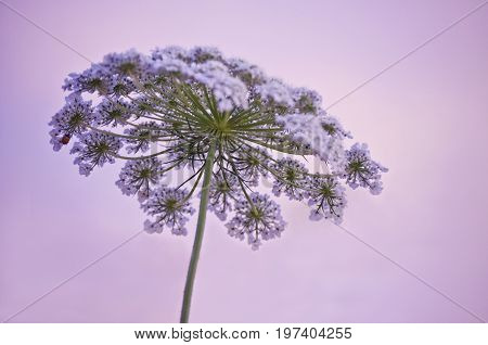 Queen Anne`s lace with purple hues in sky