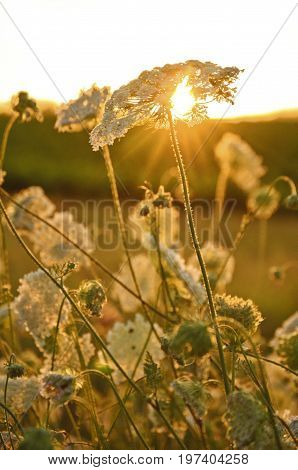 Queen Anne's Lace-daucus carrota in meadow at sunset with golden rays of light