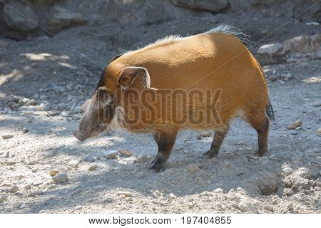 The Red River Hog Potamochoerus Porcus
