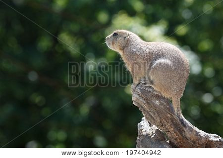 Black-tailed Prairie Dog Sitting On A Background Of Green Foliage