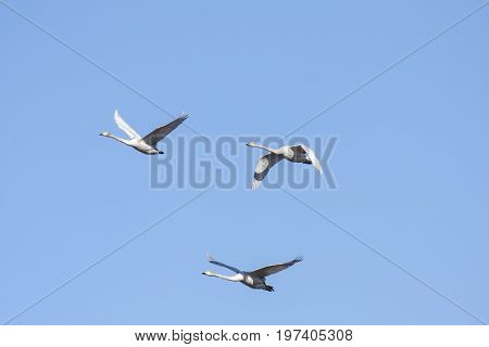 A group of whooper swan in migration. Clear blue sky in April. Heading north.