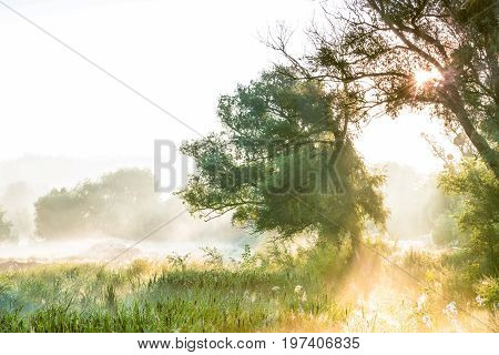 The rays of sun through a fog and tree's silhouette at dawn.