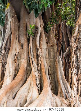 A Massive Banyan Tree in Cartegena Spain