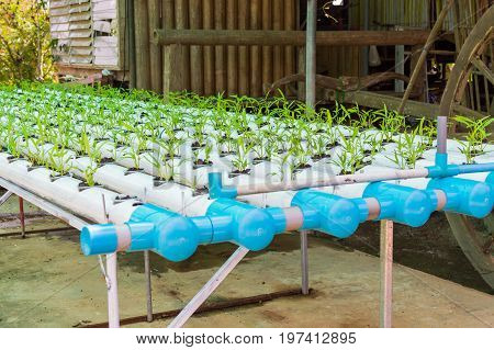 Organic green lettuce small plants or salad vegetable grown from hydroponics system with liquid fertilizer solution in water without soil at greenhouse hydroponics farm in Thailand.