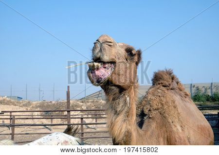 Camels chew hay on a camel farm in a Bedouin settlement