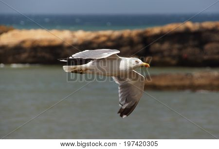 a white a seagull soars over the atlantic ocean in the background some rocks looking out the water