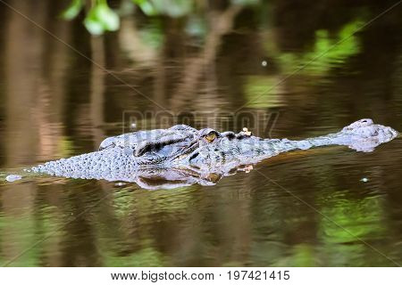 Close up of the head of a Saltwater crocodile and its reflection in the Kinbantangan river