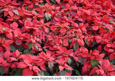 close up red Poinsettia tree in nature garden