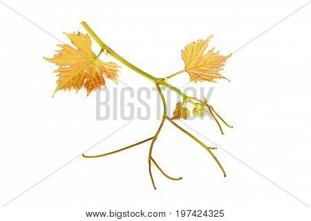 Grape branch with leaves isolated on a white background.