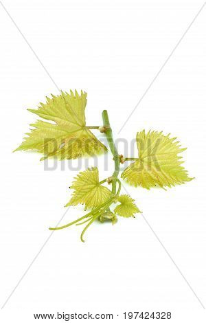 Grape vine leaves isolated on white background. Vine branchnature decor.