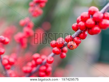 Macro Closeup Of Red Winter Holly Berries, Or Winterberries