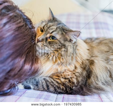 Maine coon cat sniffing young woman's hair on bed