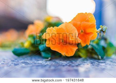 Orange Pansy Macro Closeup With Stone During Sunset